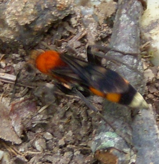 Orange black and yellow hymenopteran - Psorthaspis mariae - female