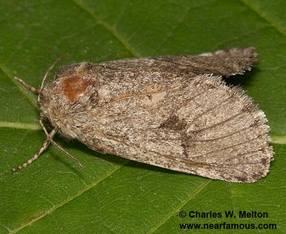 Moth - Comadia bertholdi - female