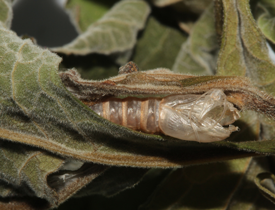 Tortricidae, spent pupal case - Archips purpurana