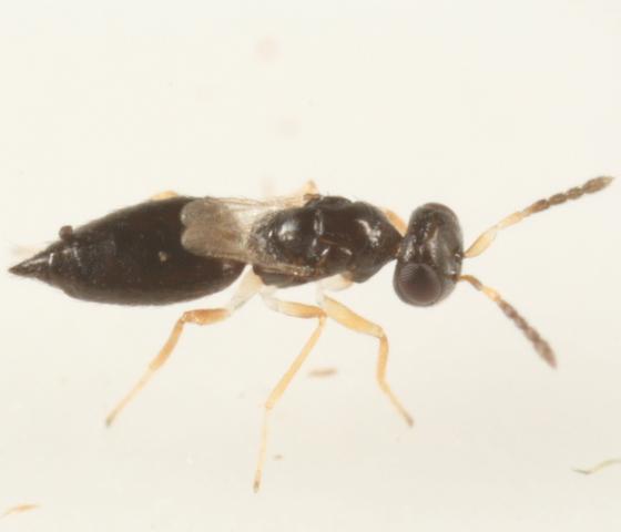 Brachypterous cynipid parasitoid - Aprostocetus - female
