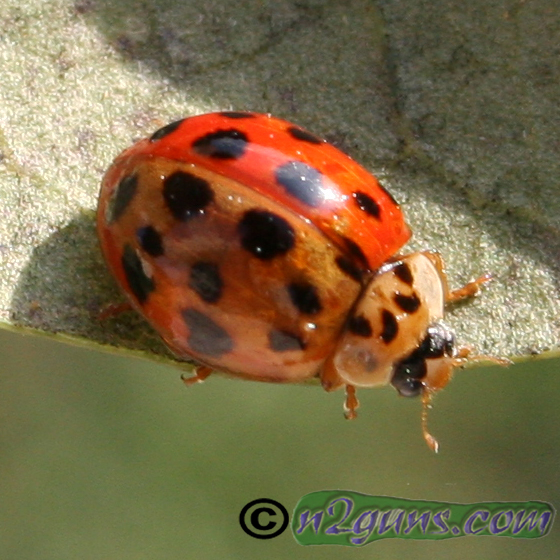 Bi-colored Multicolored Asian Lady Beetle - Harmonia axyridis