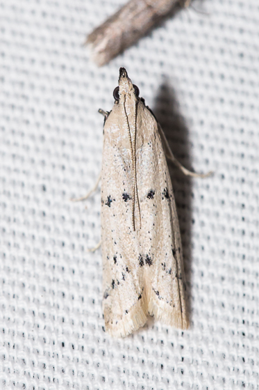 Moth #2 - Sosipatra rileyella