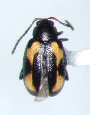 Phyllotreta striolata - male