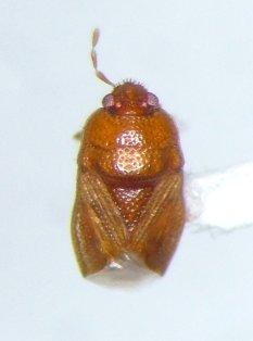 Amnestus basidentatus - male