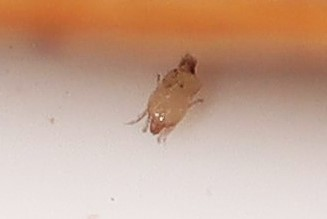scale insect?