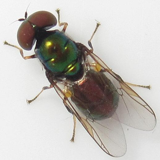 Microchrysa polita - male