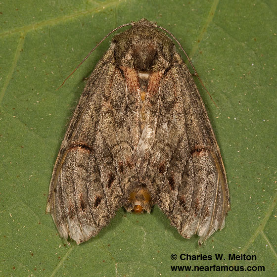 Heterocampa lunata - female