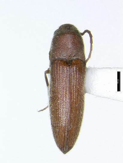 Dromaeolus punctatus (LeConte) - Dromaeolus punctatus