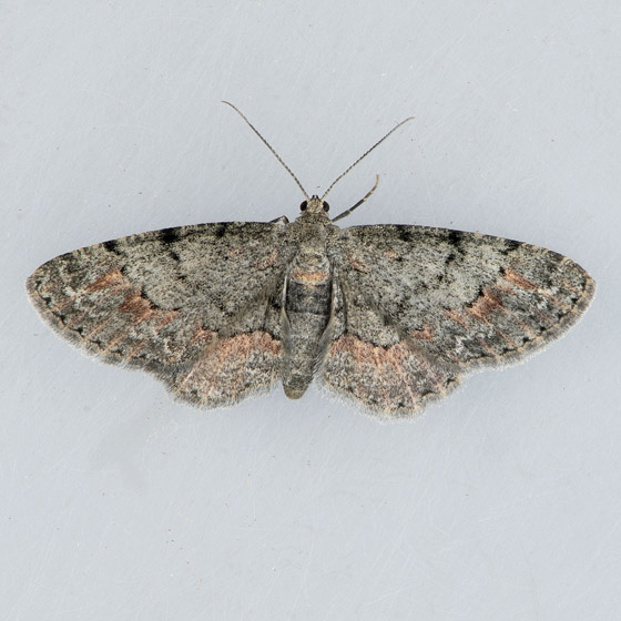 6443 Texas Gray Moth - Glenoides texanaria - female
