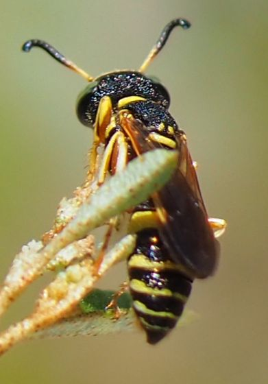 Wasp - Philanthus ventilabris