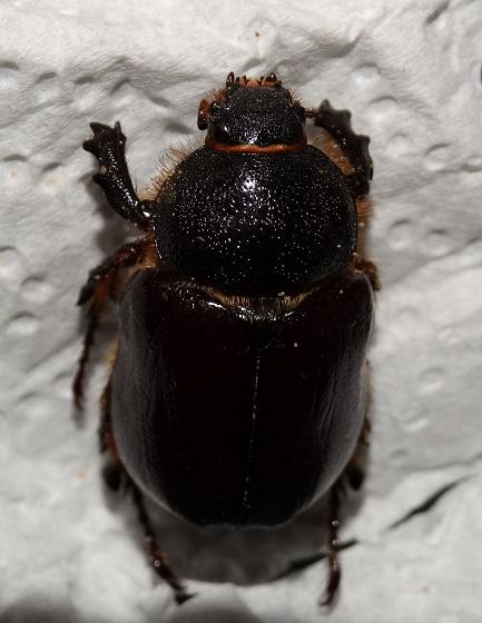 Sleeper's Elephant Beetle - Megasoma sleeperi - female