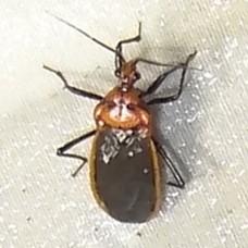 True Bug ID Request - Rhiginia cinctiventris