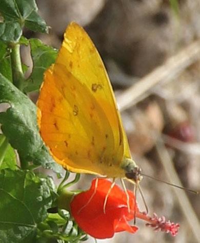 Orange -barred Sulphur? - Phoebis philea - female