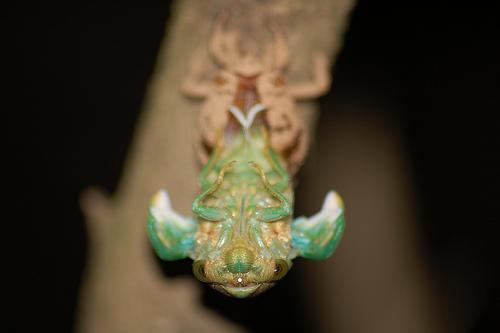 Cicadas (Cicadidae) - Neotibicen tibicen