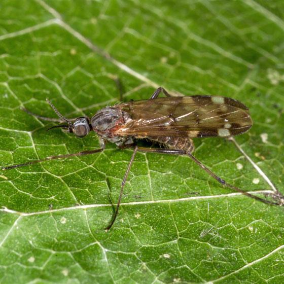 Unknown Fly - Sylvicola alternatus