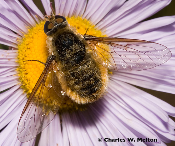 Bee Fly - Villa