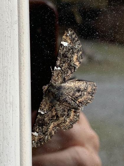 moth, white wing bars - Phaeoura quernaria