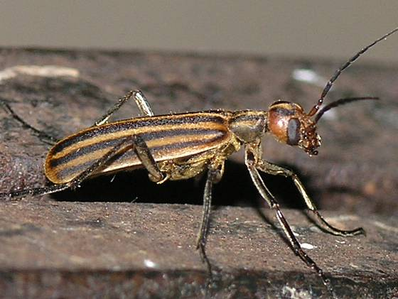 Striped Blister Beetle - Epicauta occidentalis