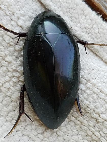 Hydrophilus triangularis (Giant Black Water Beetle) - Hydrophilus triangularis