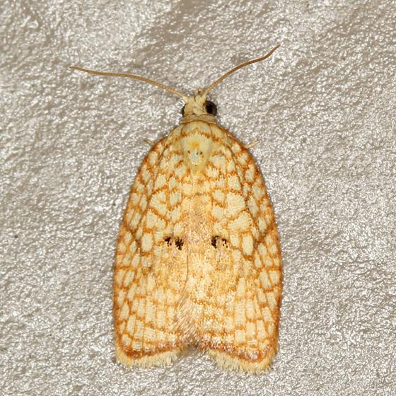 orange patterned moth - Acleris forsskaleana