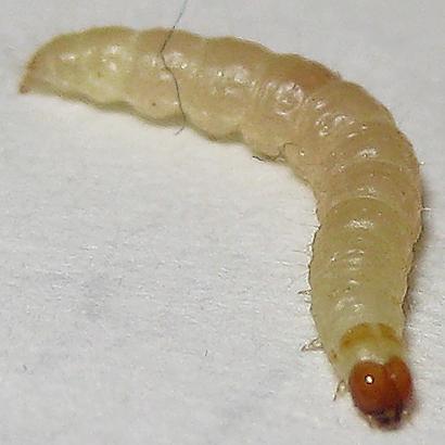 Indian Meal Moth - Hodges#6019 - Plodia interpunctella