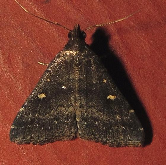 Hodges #8329 - Orange-spotted Idia Moth - Tetanolita mynesalis