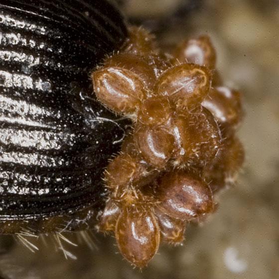 Beetle Mites 1893
