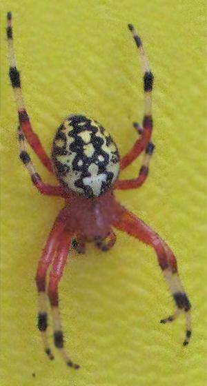Unknown Spider in Massachusetts - Araneus marmoreus - female