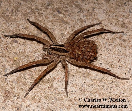Spider with young - Rabidosa santrita