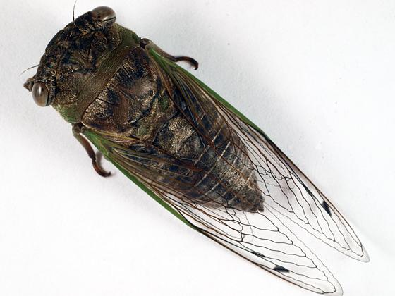 Cicada - Neotibicen auriferus