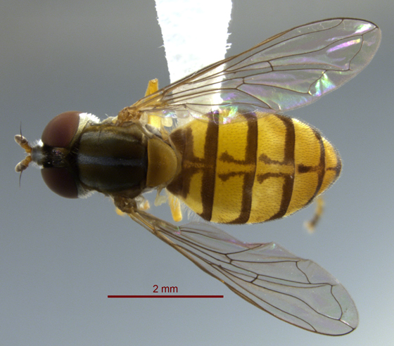 Syrphid Fly - Toxomerus jussiaeae