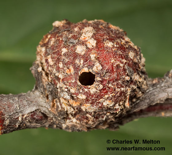 Stem Gall - Tanaostigmodes albiclavus - female