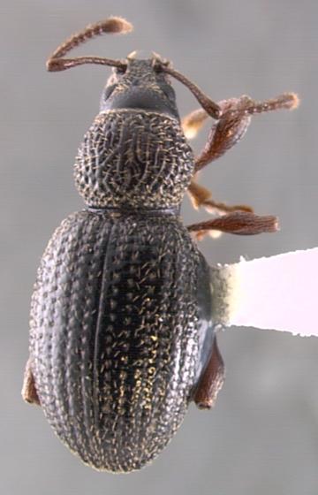 cuculionid - Otiorhynchus ovatus