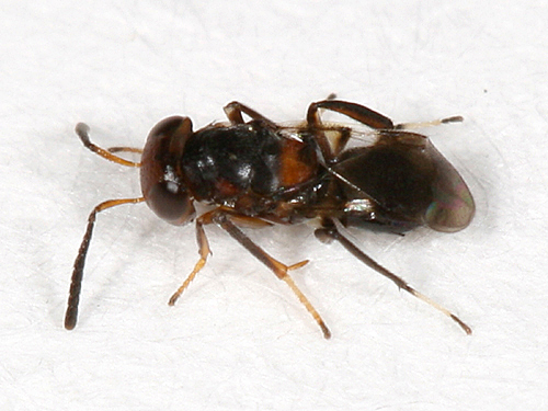 small ant-mimic wasp - Encyrtus aurantii