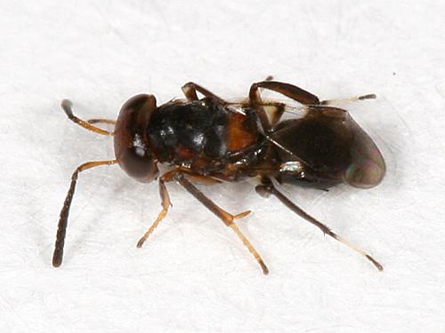 small ant-mimic wasp - Encyrtus aurantii