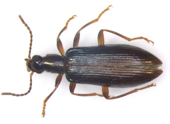 Tenebrionidae, dorsal - Statira gagatina