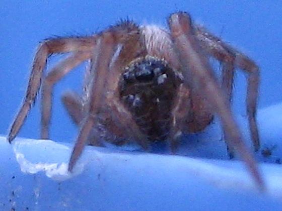 Spider - Badumna longinqua