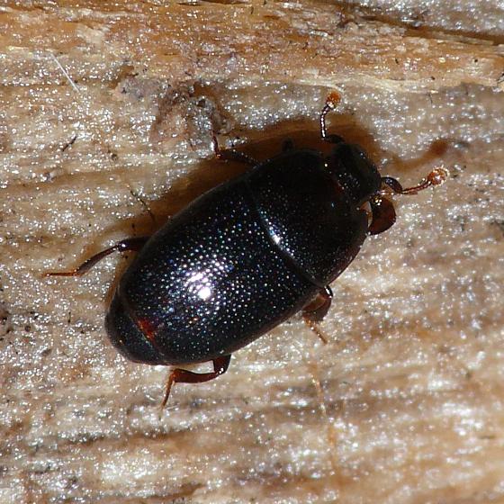 Clown beetle - Paromalus bistriatus