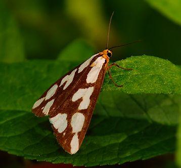 Unidentified Moth/Butterfly - Haploa confusa