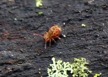 Springtail ID Request - Dicyrtomina