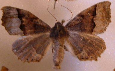 Moth - Pero ancetaria