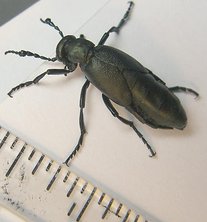 short-winged blister beetle - Meloe campanicollis - male