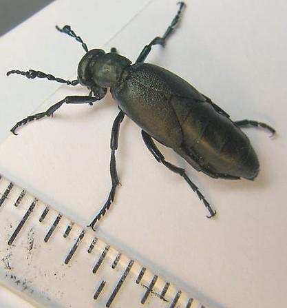 short-winged blister beetle - Meloe campanicollis - male
