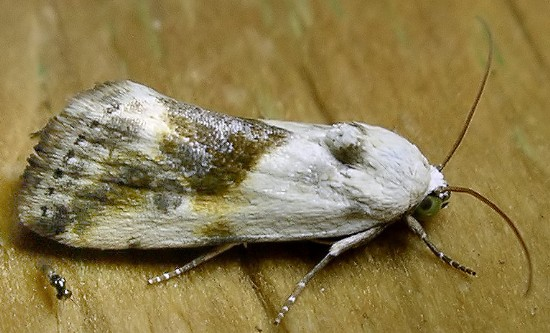 bird-dropping moth - Ponometia candefacta