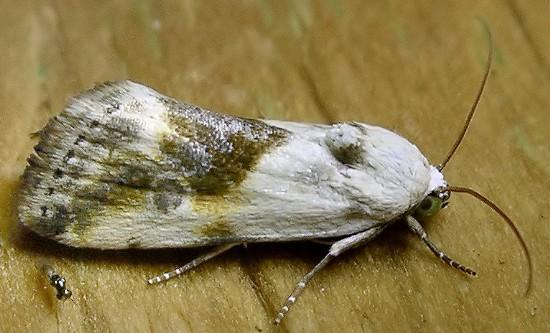 bird-dropping moth - Ponometia candefacta