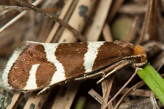 Moth - Lampronia oregonella