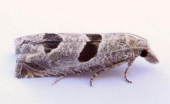 Arizona Moth - Pelochrista mirosignata