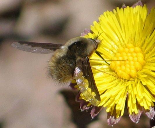 dark-edged bee fly - Bombylius major