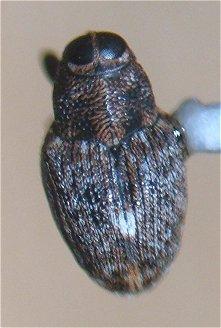 Lechriops - Lechriops oculatus