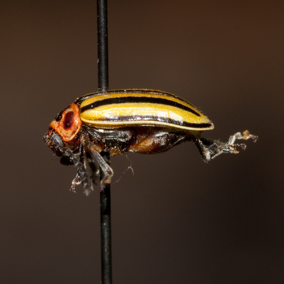 Yellow and black striped beetle - Disonycha